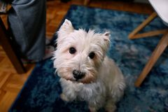 Dog photo shoot at home. Pet portrait of West Highland White Terrier dog enjoying and resting on floor and blue carpet at house. Colin Westie Terrier a very royalty free stock photos