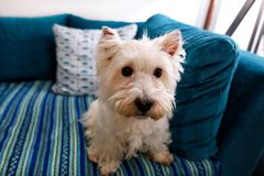Dog photo shoot at home. Pet portrait of West Highland White Terrier dog lying and sitting on bed and blue blanket couch at house. Colin Westie Terrier very stock image