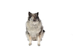 Dog in the photo studio Royalty Free Stock Images