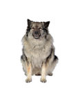 Dog in the photo studio Royalty Free Stock Photography