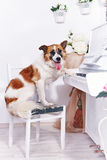Dog and piano. Stock Photos