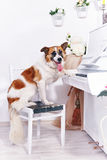 Dog and piano. Royalty Free Stock Photo