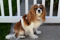Dog at picket fence Royalty Free Stock Photos