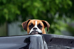 Dog in pickup truck waiting for owner Stock Photography