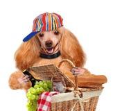 Dog with Picnic basket Stock Image