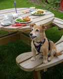 Dog on picnic bench with lunch plates Stock Images