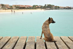 Dog on pier, port in Santa María, Cabo Verde. Dog watching from pier in port Santa María, in island Sal, Cabo Verde and nice view on clean beach and sea royalty free stock images