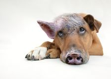 Dog with pig snout and ears