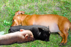A Dog and Piggies. A female Dachshund lying with piggies stock photos