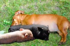 A Dog and Piggies Stock Photos