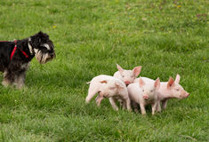 Dog with piglets Stock Photography