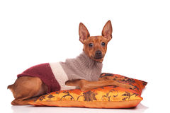 Dog on pillow Stock Photos
