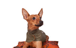Dog on pillow. Little miniature pincher in jacket  looking to left - isolated Stock Photo