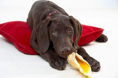 Dog and pillow. Young dog and red pillow royalty free stock images