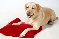 Dog with pillow. Dog on white with red pillow stock image