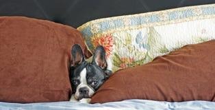 Dog in the pillows stock photos