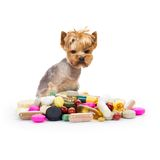 Dog with pills. Photo of Yorkshire dog sitting next to the heap of medicaments, concept of illness Stock Image