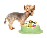 Dog with pills. Photo of Yorkshire dog standing next to the cup full of medicaments, concept of illness Royalty Free Stock Images