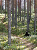 Dog in Pine Forest Royalty Free Stock Photos