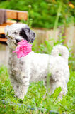 Dog with pink rose in the mouth Stock Photography