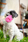 Dog with pink rose in the mouth Stock Images