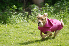 Dog with pink shirt playing with a ball Royalty Free Stock Images