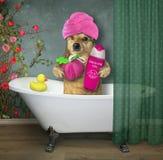 Dog takes a bath royalty free stock photos
