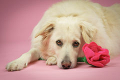 Dog with pink Stock Images