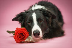 Dog with pink Royalty Free Stock Photography
