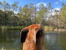 Dog with pinned back ears. Brown boxer dog in cypress swamps of the South stock images