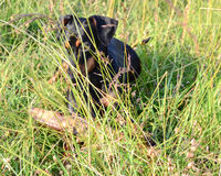 Dog Pinscher Royalty Free Stock Photo