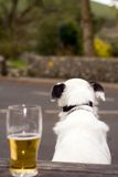 Dog and Pint. Dog sat on Pub bench with a pint of beer Royalty Free Stock Image