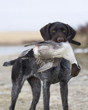 Dog with a Pintail Stock Photo
