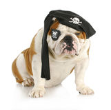 Dog pirate Stock Photos