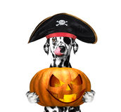 Dog in a pirate costume with halloweens pumpkin Royalty Free Stock Photo