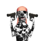 Dog in a pirate costume holding guns Royalty Free Stock Photo