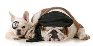 Dog pirates. French and english bulldog dressed up like pirates  on white background Royalty Free Stock Image