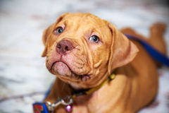 Dog pit bull looking. Puppy dog pit bull red nose looking on floor royalty free stock photos