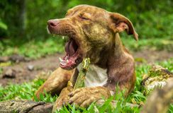 DOG PIT BULL PLAYING WITH WOOD royalty free stock photography