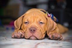 Dog pit bull sleepy Royalty Free Stock Image