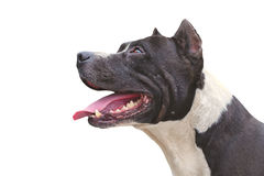 Dog Pit Bull Terrier happy. Appearance isolated on white background Royalty Free Stock Photo