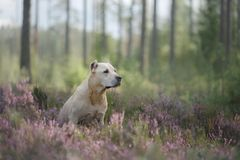 Dog pit bull Terrier sitting in the woods Royalty Free Stock Photography