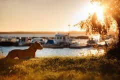 Dog pit bull Terrier on the walk Stock Image