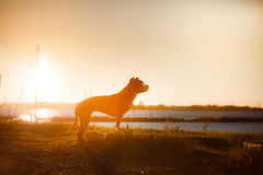Dog pit bull Terrier on the walk Stock Images