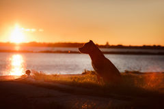 Dog pit bull Terrier on the walk Royalty Free Stock Images