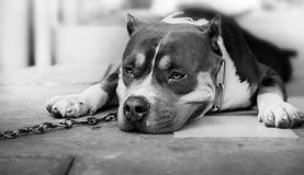 Dog pitbull feels bored. Dog pitbull feels boredc and regret royalty free stock images