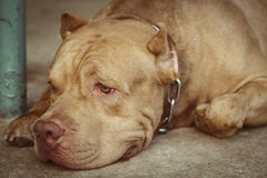 Dog pitbull. Pitbull dogs are lonely and depressed royalty free stock photo