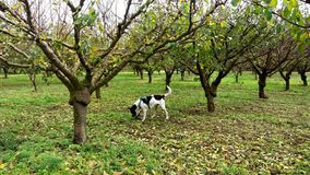 Dog in a planted peaches trees. Black and white dog sniffing the ground in a planted peaches field Royalty Free Stock Photography