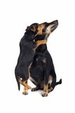 Dog play Royalty Free Stock Photos