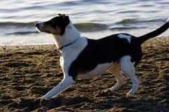 Dog play. Ready to fetch dog on the beach stock photos